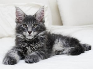 maine-coon-2744