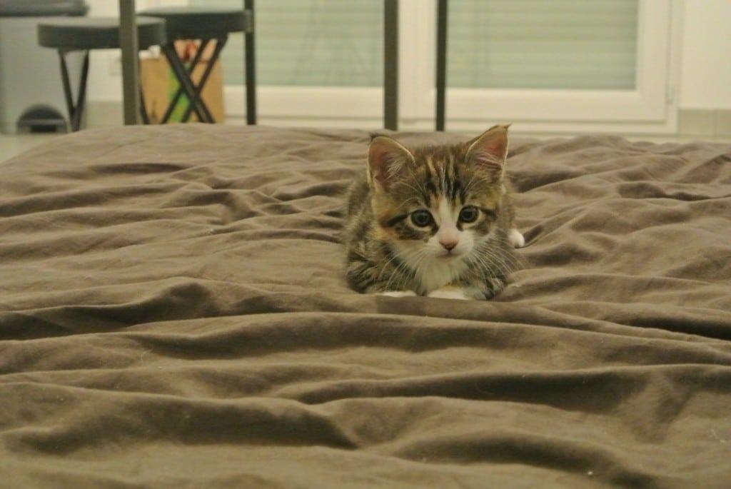 Un chaton qui chasse