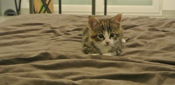 Mon chaton va arriver, que dois-je prévoir?