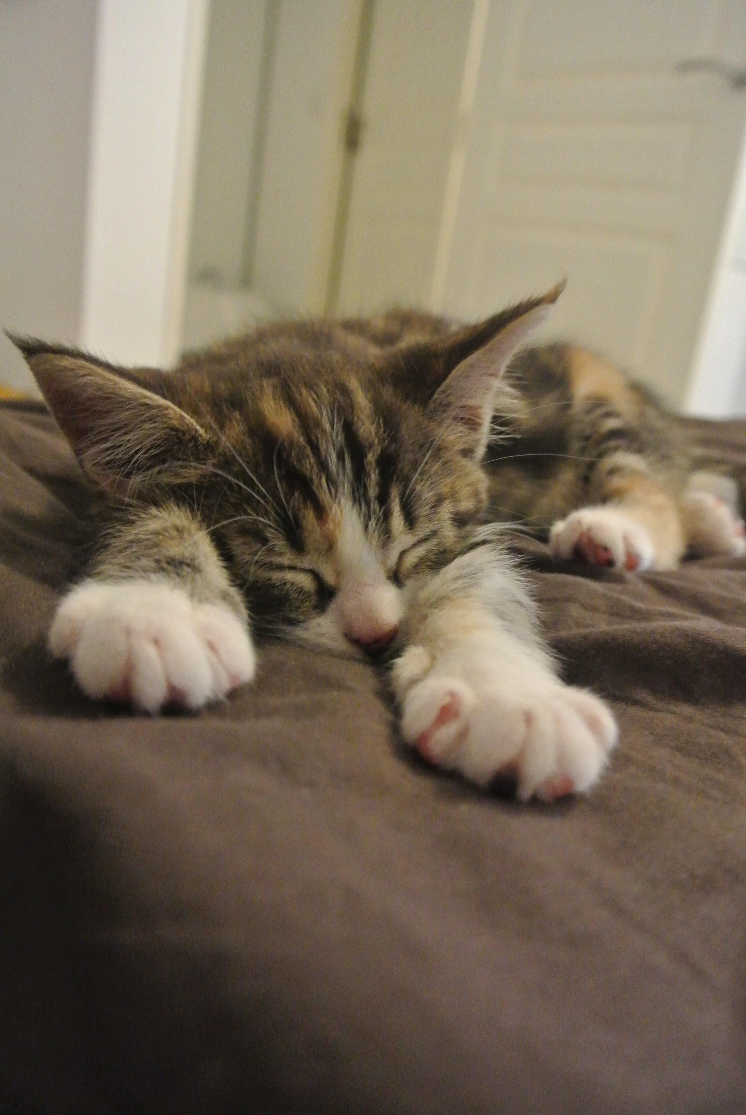 Mon Chat Dort Sur Mes Pieds arrivée d'un chaton à la maison : les bons réflexes à adopter